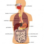 digestion (6a)