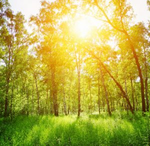 birch-forest-sunny-day-green-woods-summer-spring-landscape-43067305